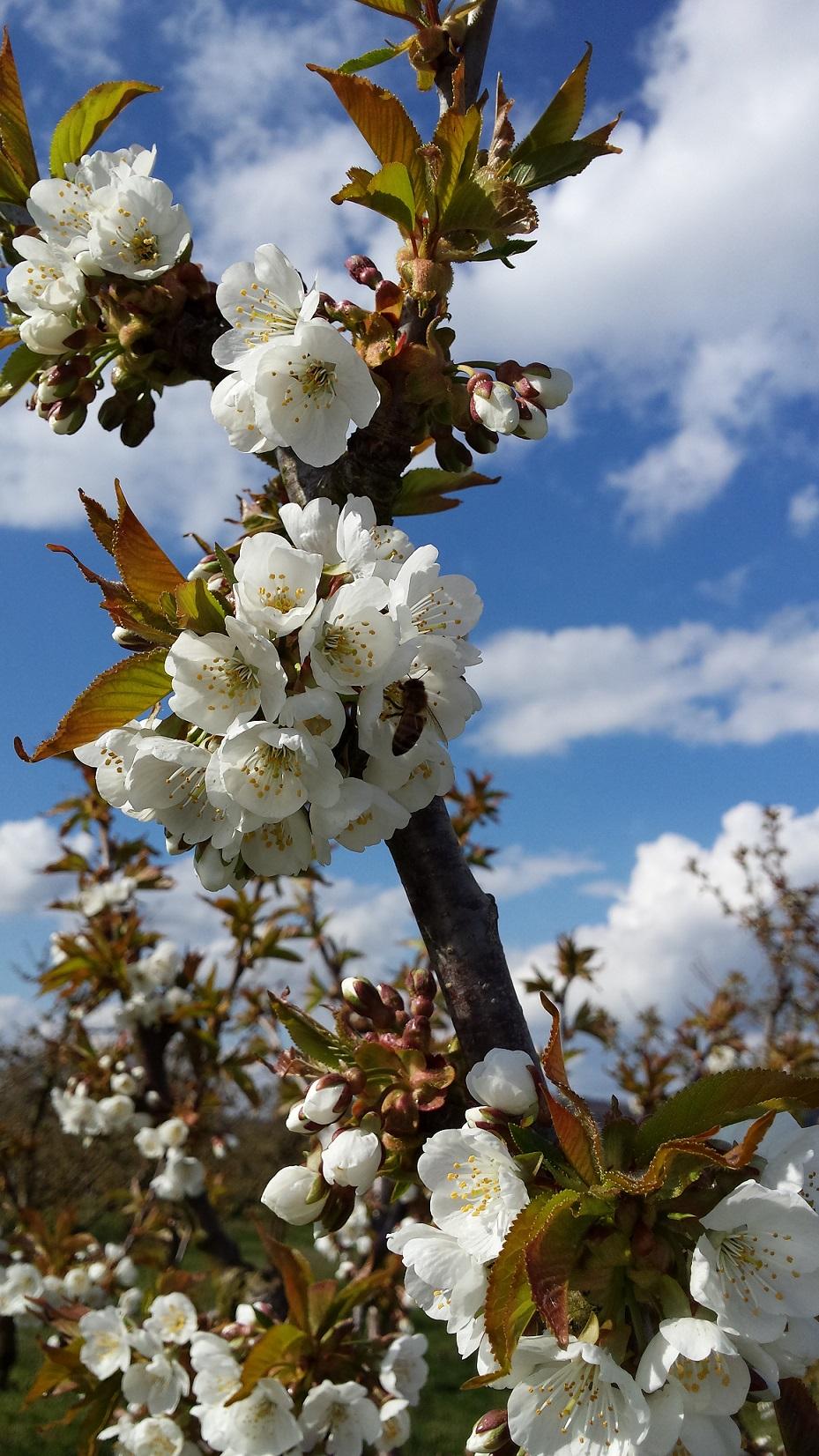 Kirschblüten Nürnberger Land